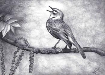 singing bird by alvarosm