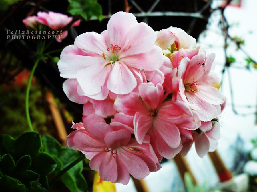 Flower 12 by FelixBetancort