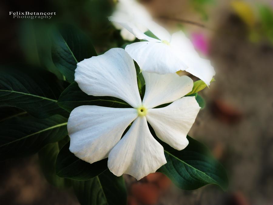 Flower 14 by FelixBetancort