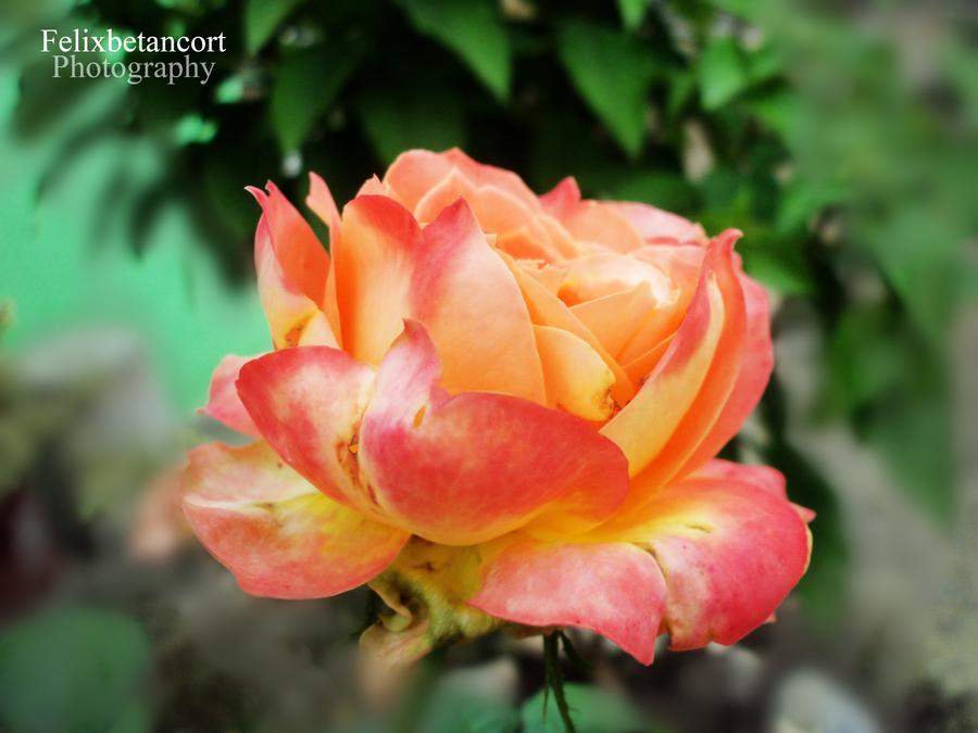 Rose by FelixBetancort