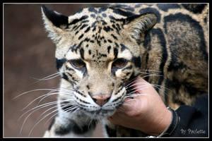 Clouded Leopard by shutterbugmom