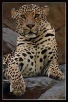 Leopard by shutterbugmom