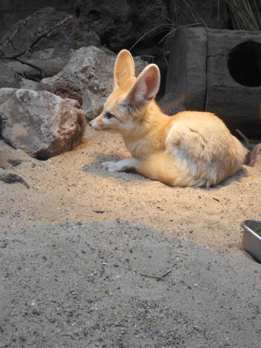 Fennec Fox by whisperingwolvesx27
