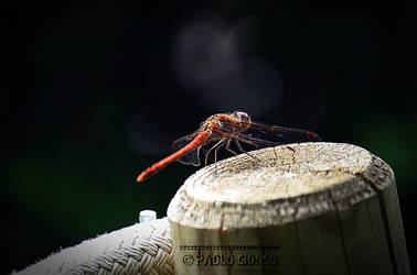 Red Dragonfly by Cionco