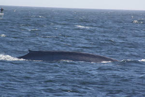Blue Whale Dive by OrcinusPacifica