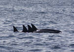 Transient Orca Cows 417012 by OrcinusPacifica