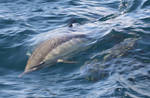 Common Dolphins 0115124