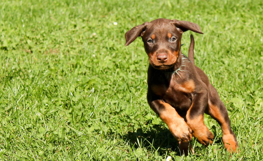 Doberman Puppy by Doberman4Life