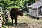 Bull Stock 1301