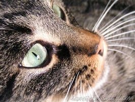 Eye of the -Tiger-Cat by Niameii