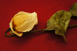 Dried rose on red