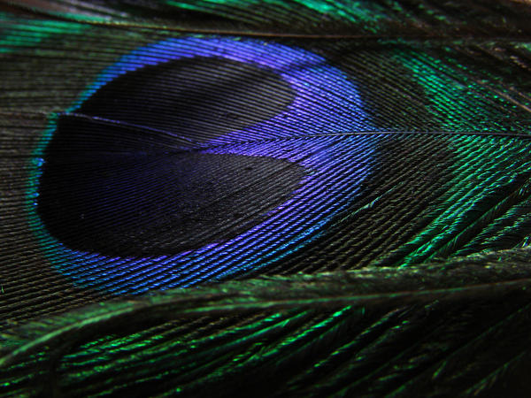 Peacock Feather by ALP-Stock
