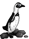 The African Penguin by imcaramel