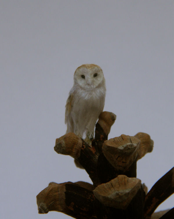 Miniature barn owl Sitting on a pine cone by AnyaStone