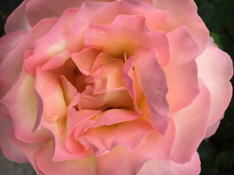 rosabluete2