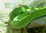 Sunbathing Snake