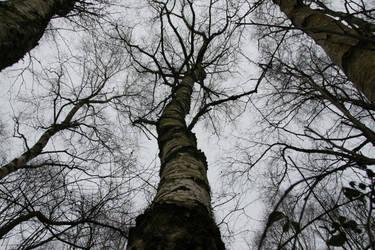 Birch Wood Trees by Kitsch-Craft