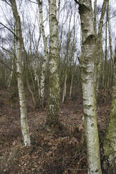 Birch Trees 02 by Kitsch-Craft