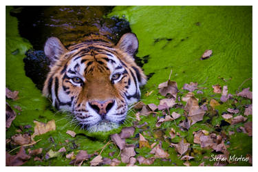 Swimming Siberian Tiger by cRomoZone