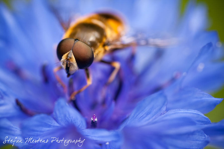 Eristalis nemorum - update