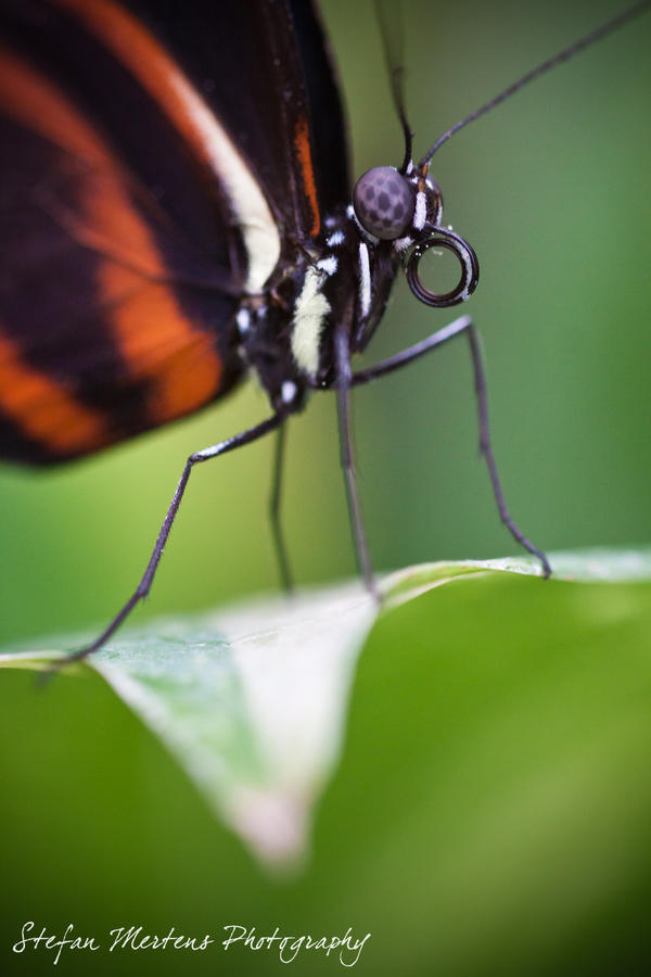 Longwing Butterfly by cRomoZone
