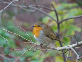 Robin by Hikinggirl85