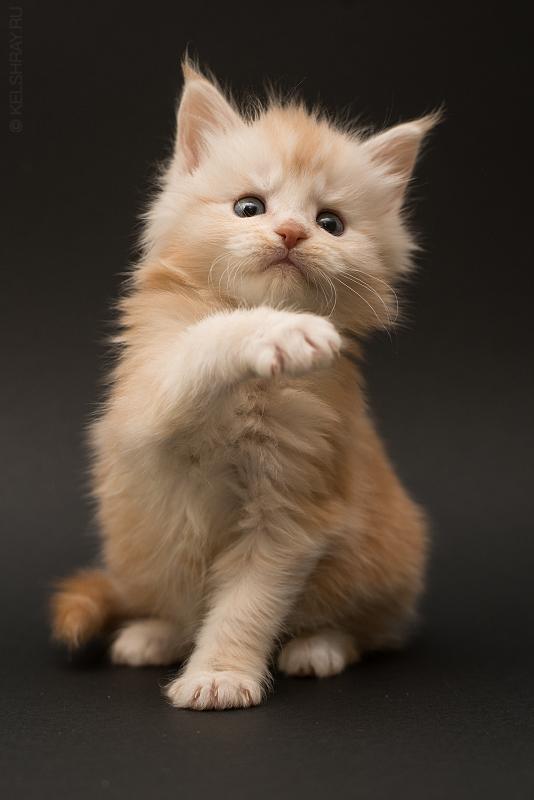 Buy Maine Coon Cat Uk