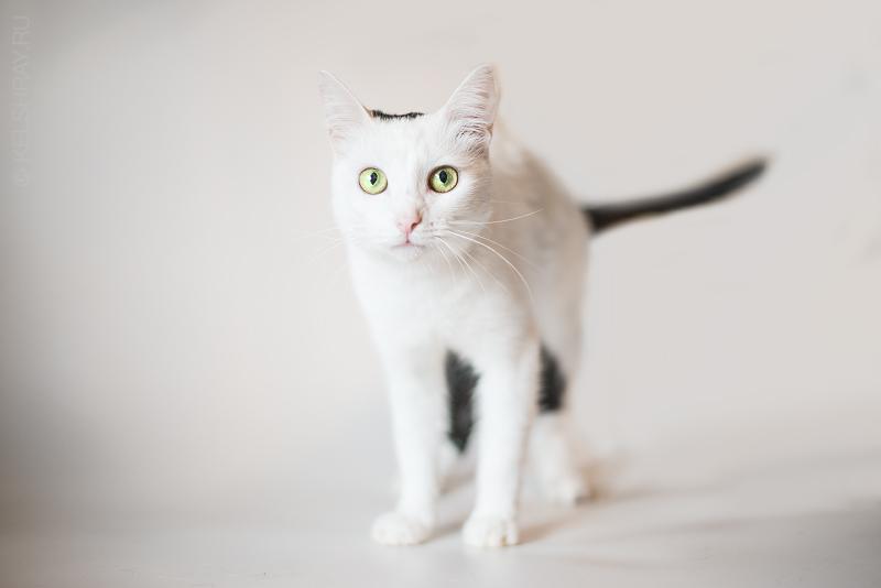 White cat by Kelshray-photo