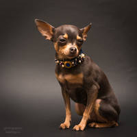 Handmade collar - toy terrier15 by Kelshray-photo