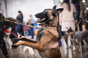 Russia 2015 - malinois by Kelshray-photo