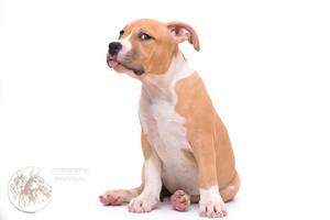 Amstaff puppy (6) by Kelshray-photo