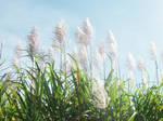 Sugarcane Flowering