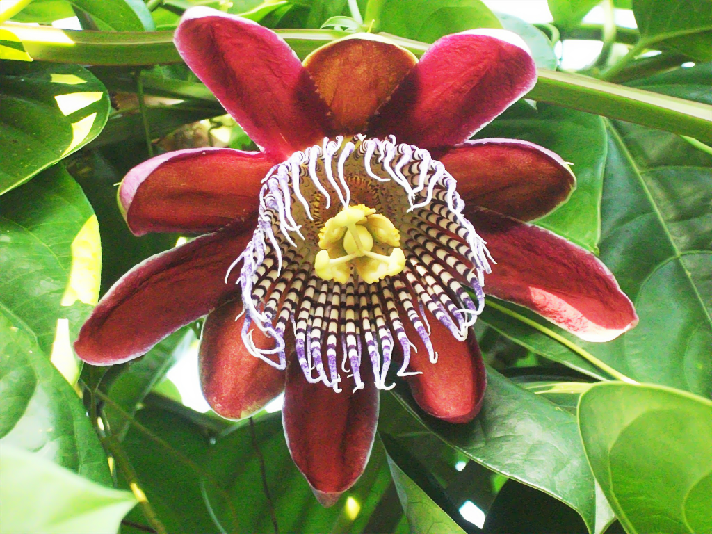 Passion Fruit Flower By Seek And Hide On Deviantart