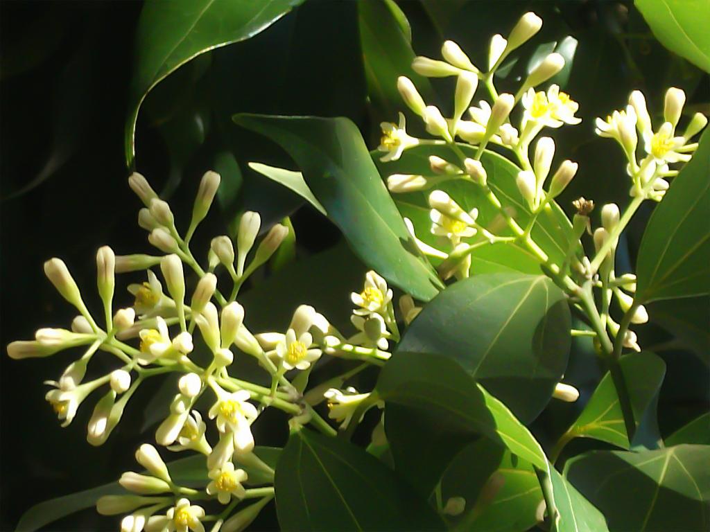 cinnamon flower - photo #3