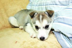 baby husky by Gaaragirlshirinaj