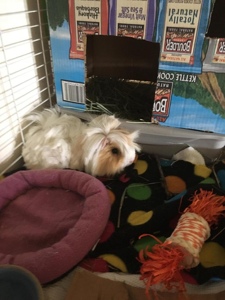 I got a Guinea pig!!!!!!! YAAAAYYYYY!!!!!!! by glittergirlart