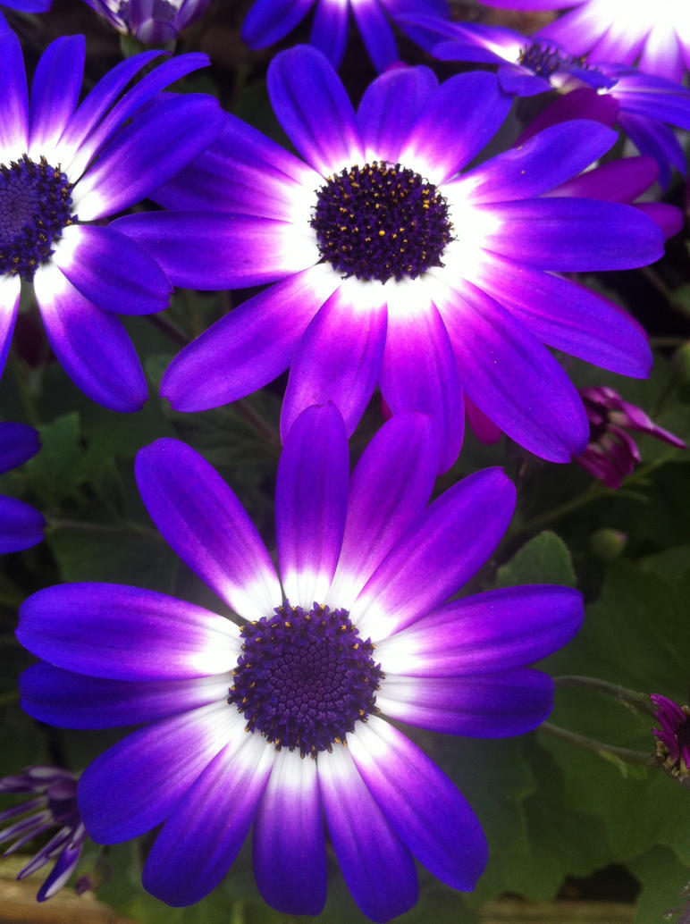 Blue purple white flowers by rdsadams on deviantart blue purple white flowers by rdsadams izmirmasajfo