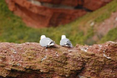 Herring Gulls by weddige