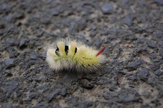 Pale Tussock Caterpillar