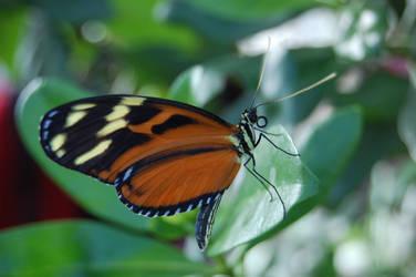 Monarch by weddige