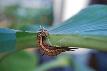 Owl butterfly larva by weddige