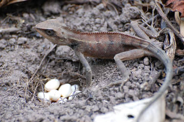 Lizard by weddige
