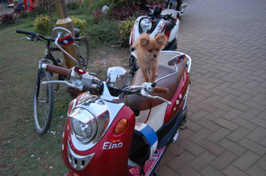 Dog on scooter by weddige