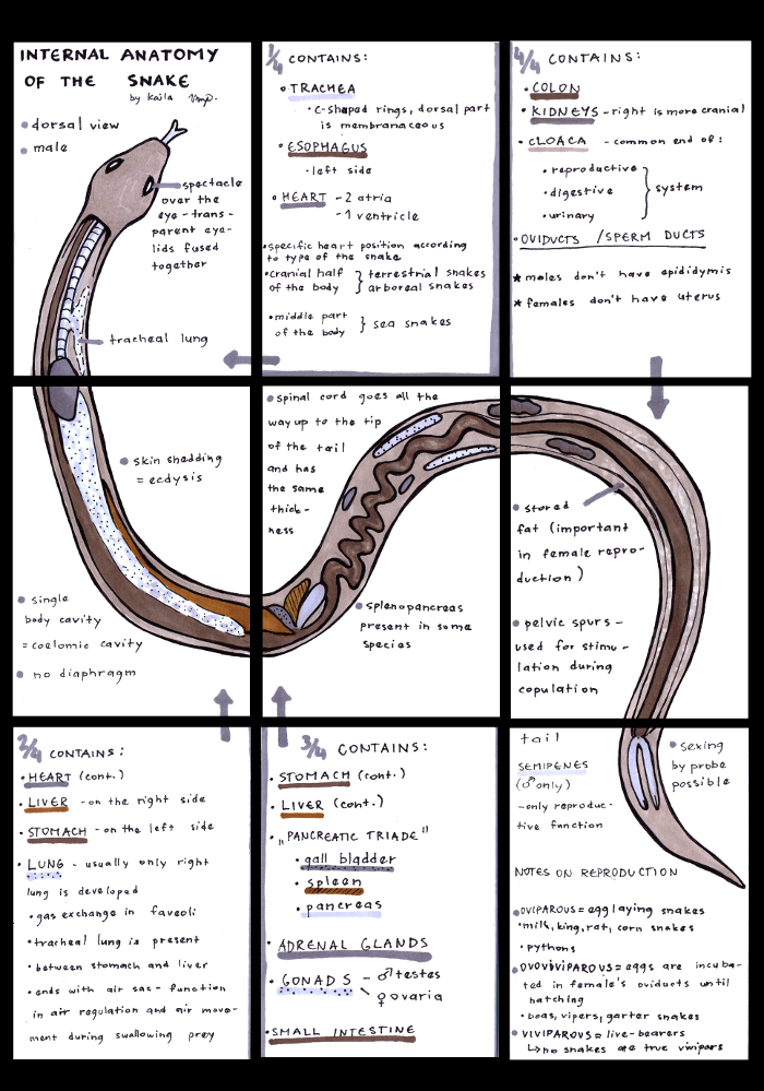 Pin Snake Anatomy Internal And External Pictures ...