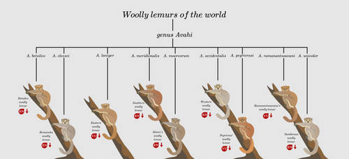Woolly lemurs of the world by kailavmp