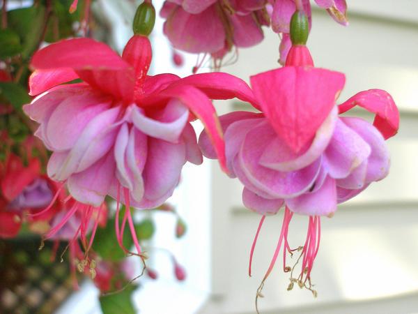 hanging flowers by misskat345 on deviantart
