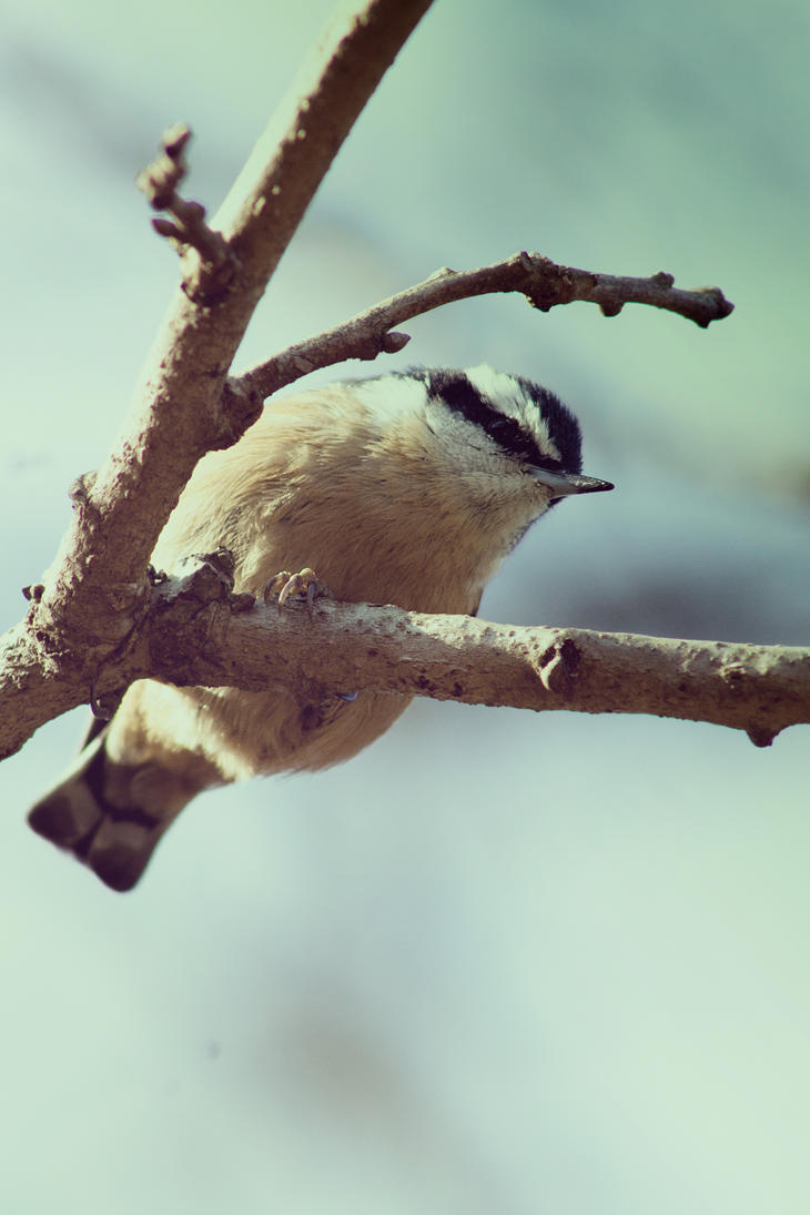 Chickadee by ToryHartley