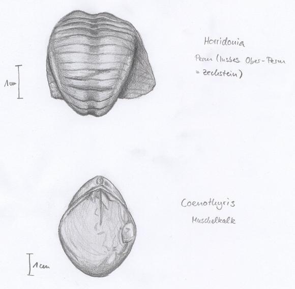 Fossils - Brachiopoda