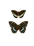 butterflies png