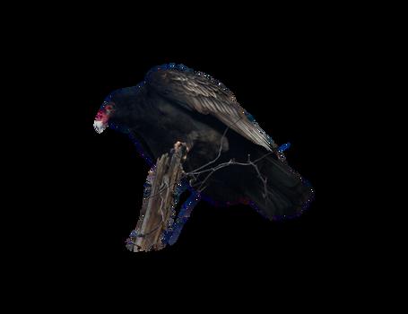black vulture png